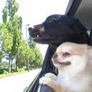 Salem Watch: Bill would outlaw driving with an animal in your lap